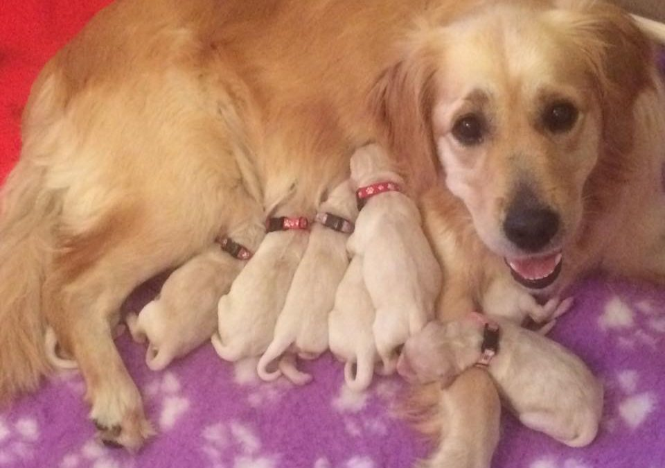 Golden Retriever Pups on their way.