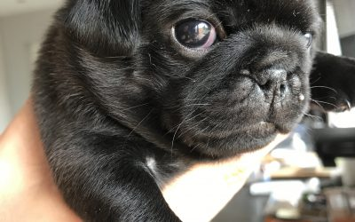 Microchipping Pugs & Ultrasound French Bulldog