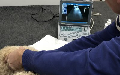 Ultrasound On A Poodle